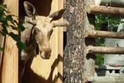 Лосей Яшу и Машу выпустили на волю из новосибирского зоопарка: Природа: Моя страна: Lenta.ru