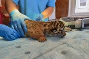 В нижегородском зоопарке родились тигрята: Природа: Моя страна: Lenta.ru